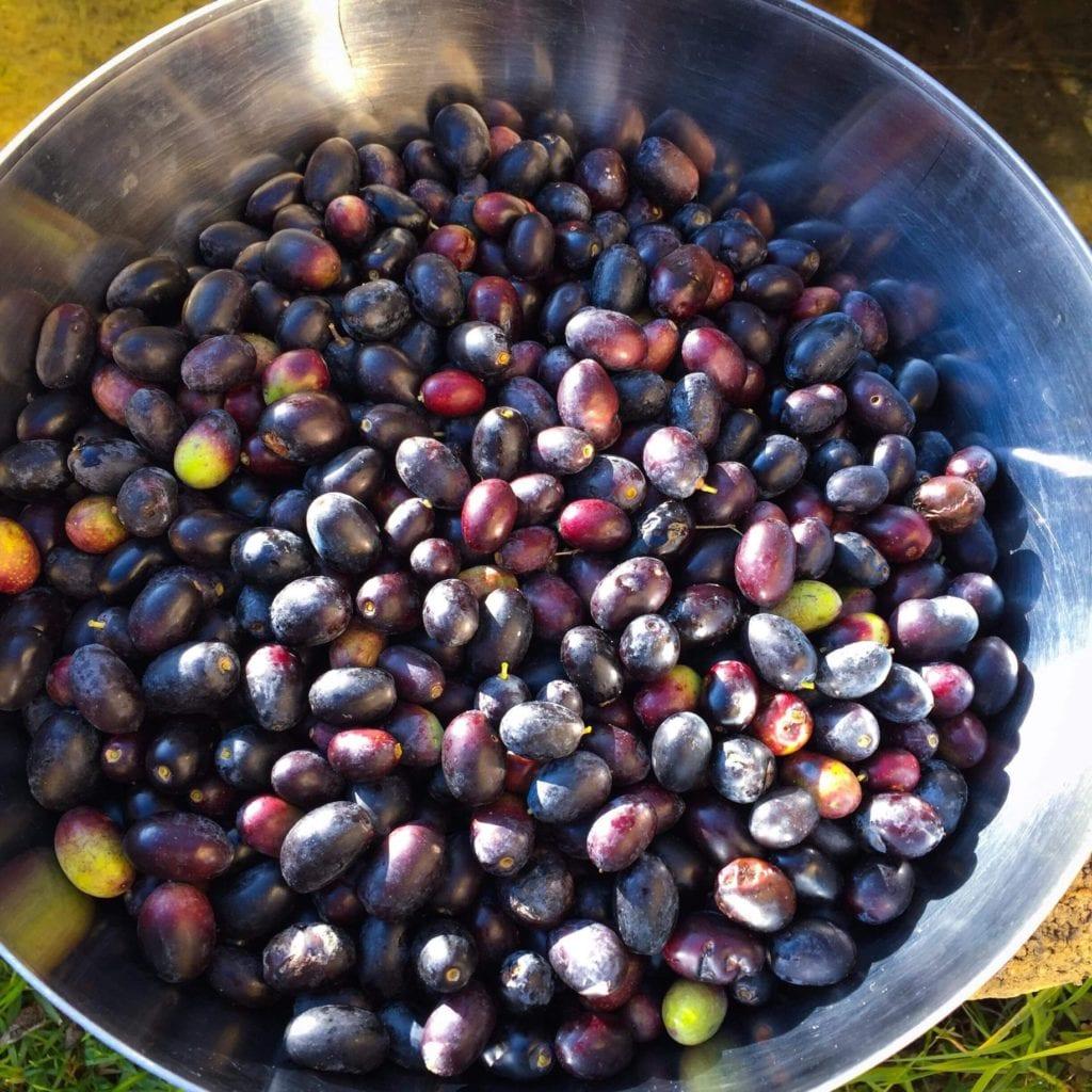 Olives de Eze Village, région niçoise